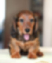 tongue out doxie