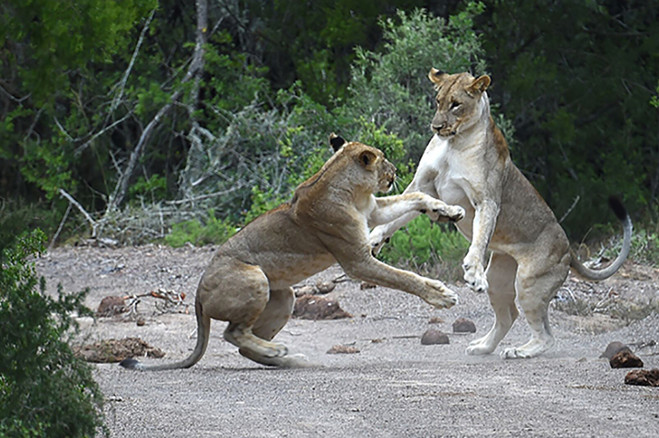 11 - lions.jpg