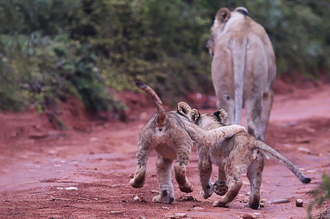 10 - lions1.jpg
