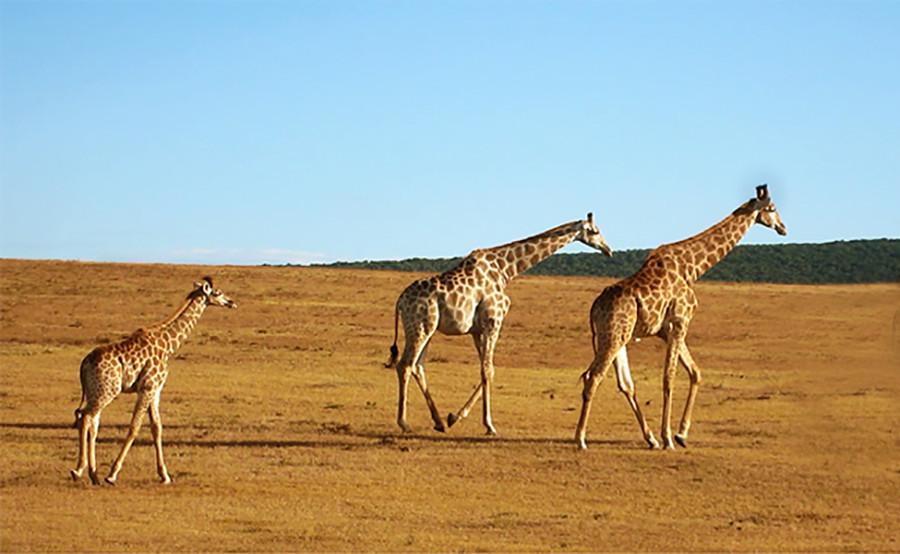 14 giraffe.jpg
