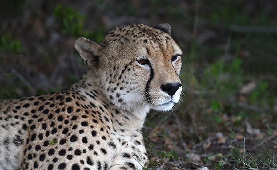 12 cheetah.jpg