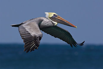 26 Pelican.jpg