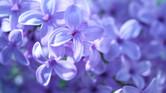 Little Lilacs. Big Life.