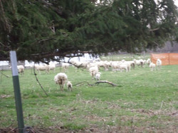 Sheep Are People, Too