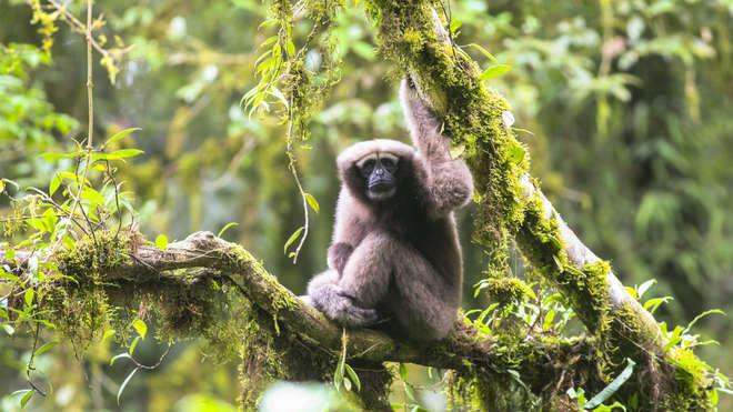 Adult Female Skywalker Hoolock Gibbon (Photo: ZSL)