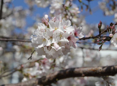 Celebrate the Cherry Blossom Festival with a Cup of Biron Tea's Cherry Blossom Green Tea!
