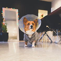Norman the Little Corgi.jpg