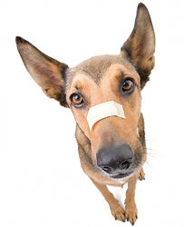 dog-with-bandaid-for-first-_1.jpg