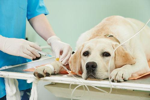 DOG-On-IV-heat-stroke.jpg