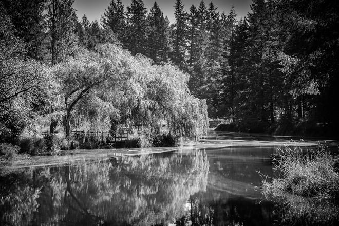 Oregon Tree on a Creek