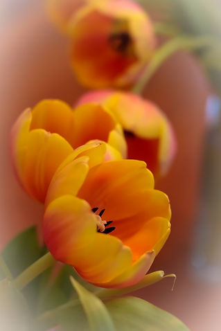 Tulip-3.jpg