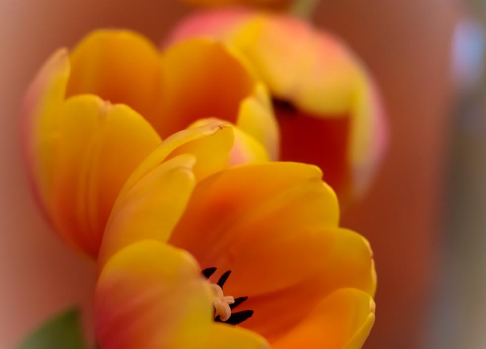 Tulip-3