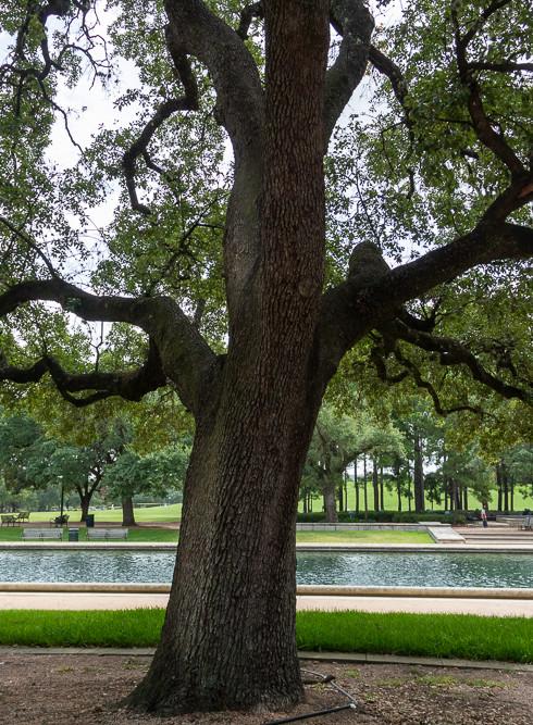 Quercus 1