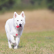 course chien