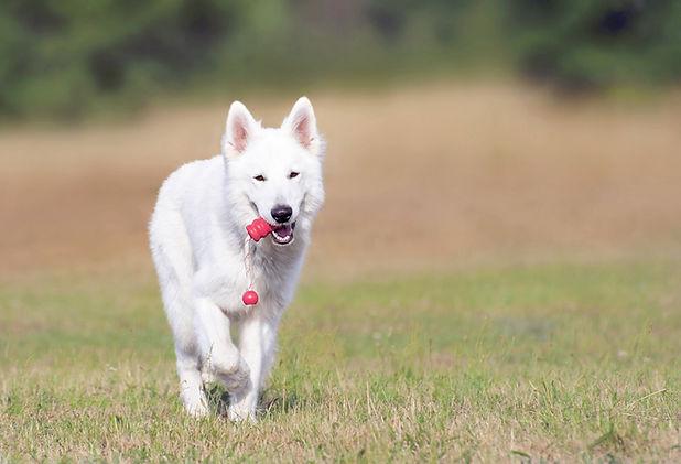 犬のランニング