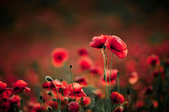 poppy-flowers-summer.jpg