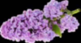 Transparent_Lilac_Clipart_edited_edited.