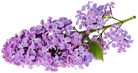 Transparent_Lilac_Clipart_edited_edited.