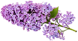 Transparent_Lilac_Clipart_edited.png