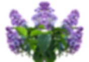 lilac-2612384_1920.png