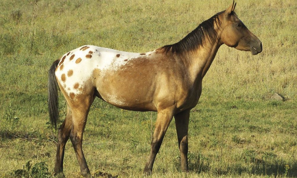 Nez Perce Horse.jpg