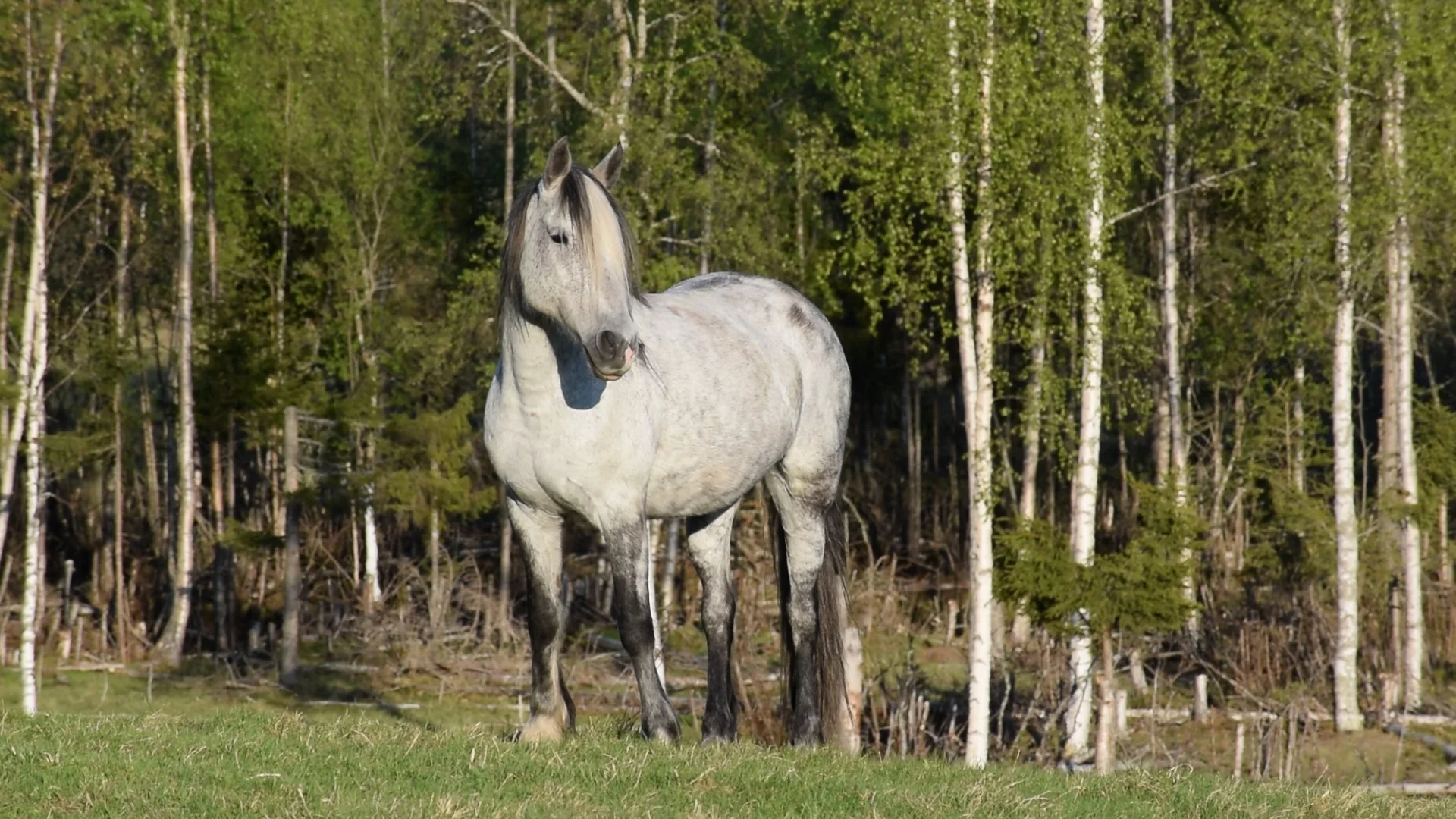 Nokota Horse.webp