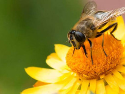 Stay away from bees — and honey