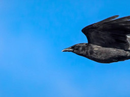 Dive-bombing crows hit Vancouver