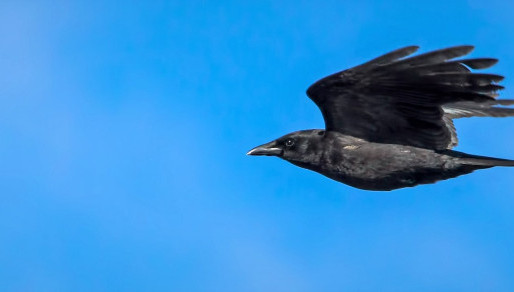 Dive-bombing crows hit Vancouver