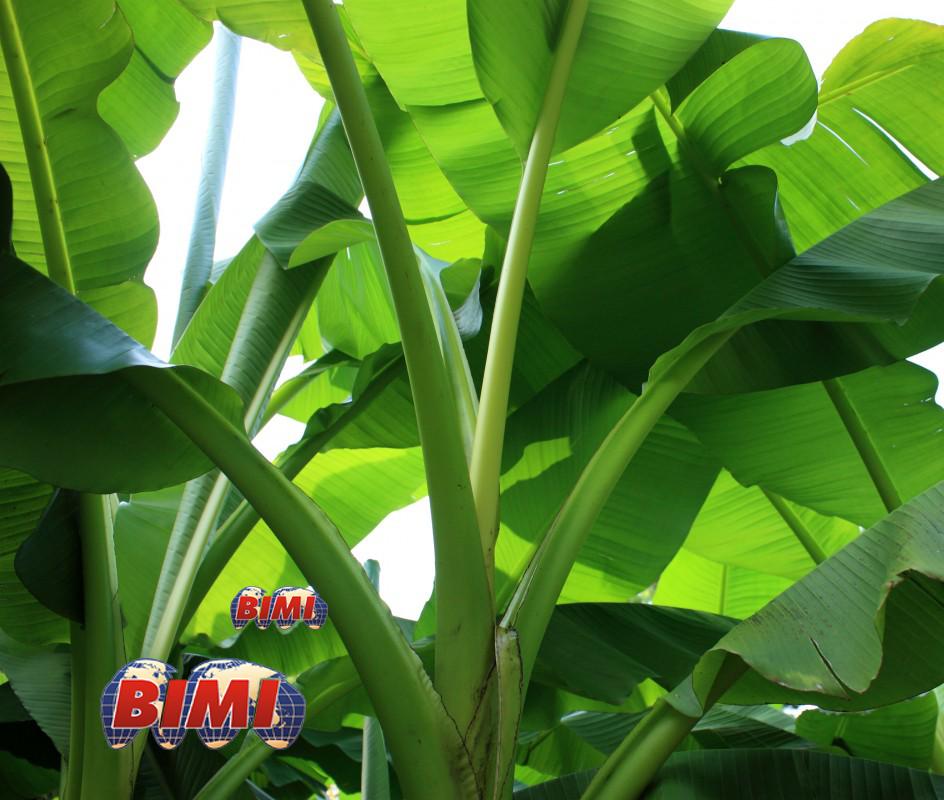 banana_shrub_plant.png