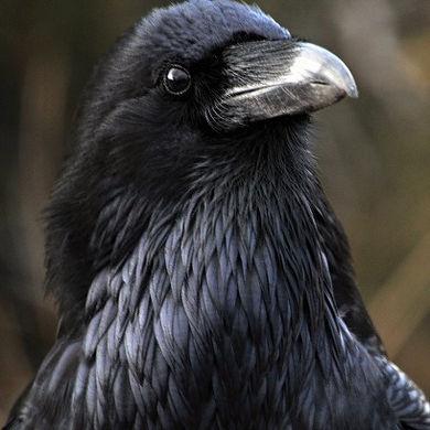 Raven Healing Frankly Shamanic Melbourne Australia