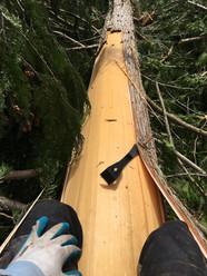 Cedar bark harvest