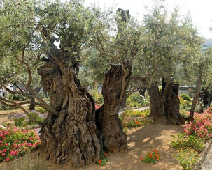 Places of Passion: The Garden of Gethsemane