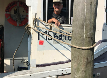Sea Scallops Return to Menemsha