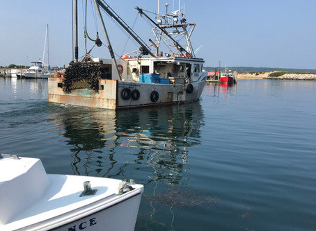Sam Hopkins Continues to Land Sea Scallops in Menemsha