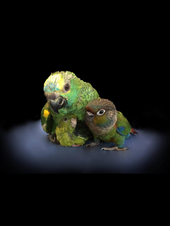 OUR BIRDS | Deanna birds parrots for sale tamborine gold coast
