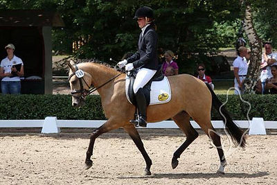 German Riding Pony, German Riding Ponies, German Riding Pony Stallions