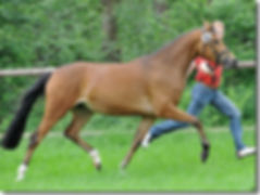 German Riding Pony, German Riding Ponies, German Riding Pony Stallions
