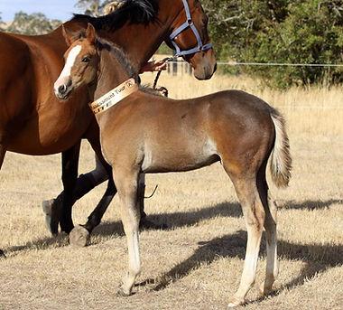 German Riding Pony, German Riding Ponies, German Riding Pony Stallions, German Riding Pony Youngstock