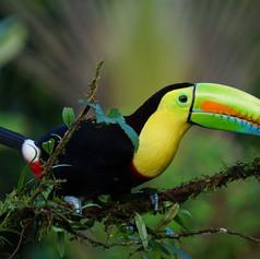 keel-billed-toucan-1021048_1920.jpg