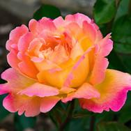 rose-2410767.jpg