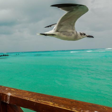 61 gull Caribbean.jpg