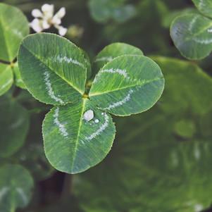 clover-2329822.jpg