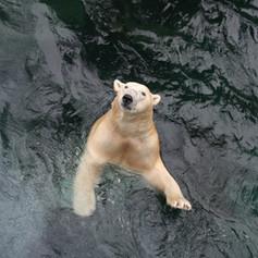 polar-bear-1839387_1920.jpg
