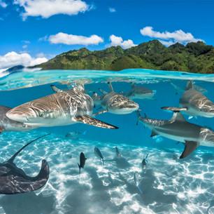Sharks-in-Tahiti.jpg