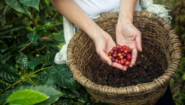 itinerary_mobi_2Costa-Rica-La-Fortuna-Planeterra-Coffee-Cooperative-Plant-Coffee-Beans-Basket-Hands.jpg
