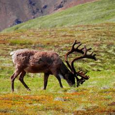 reindeer-1692593.jpg