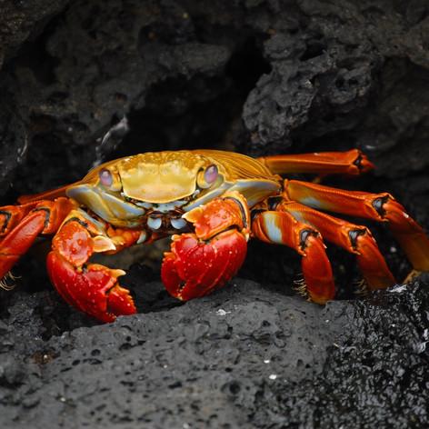 crab-63084.jpg