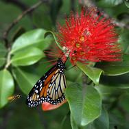 monarch-butterfly-566673.jpg