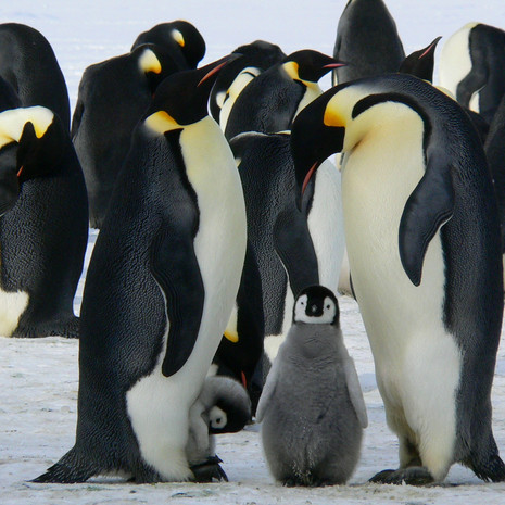 penguins-429128.jpg